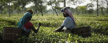 A life of dignity long overdue for Assam's tea workers   Ethical Trading  Initiative